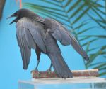 american crow 2.3 by meihua-stock