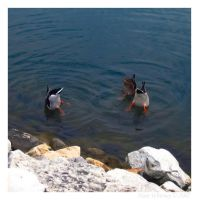 Duck Synchronized Swimming by mr-sarcastic1984