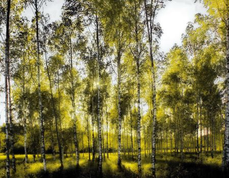 White Birch, Klemetsrud, Norway by Son-of-Incogneato