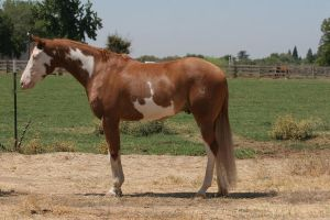 Chestnut Red Roan Paint Pinto Gelding 2 by suuslovertje