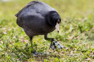 Coot feet are crazy! by LordMajestros
