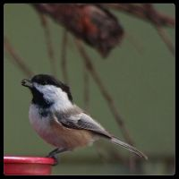 Chickadee Eating by wasd