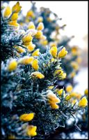 Gorse Flowers by impgrrrl