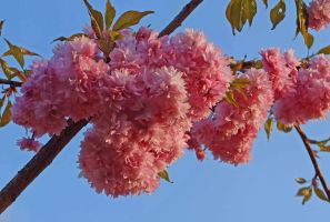 Our cherry blossom by piglet365