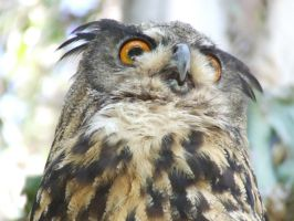 European Eagle-Owl head 3 by dtf-stock