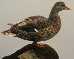 Female Mallard by PaganFireSnake