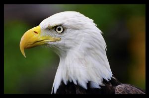 Southern Bald Eagle by Snookless