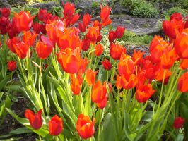 Tulips are Red by EmotionalFireball