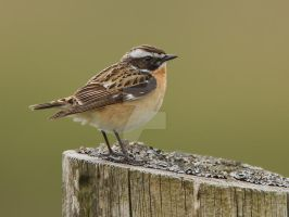 who left the table in a mess - Whinchat by Jamie-MacArthur