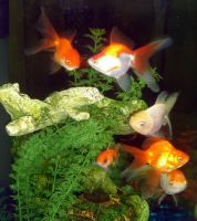 Goldfish Group Shot by Heatherbeast