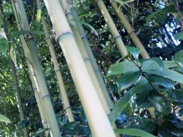 Bamboo by clmcmillion