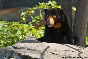 Sun Bear by amrodel