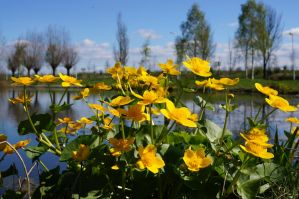 marsh marigold by AutumnCapricorn