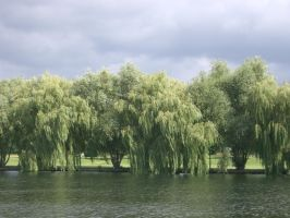 Willows by slobo777-stock