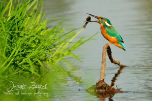 Kingfisher by jjbeggar