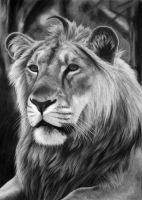Panthera leo persica, charcoal by Panthera11
