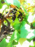 Vineyard Grapes by LadyAriessTemptra