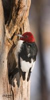 Another Redhead Woodpecker by DGAnder