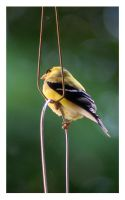 Male American Goldfinch by richardcgreen