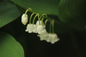 Little smelly bells of the lily of the valley by Laur720