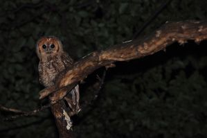 Young Tawny Owl by Dariaocean
