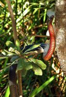 Red-Bellied Black Snake 2 by Illirik