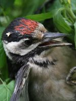 Woodpecker Portrait by Monastor