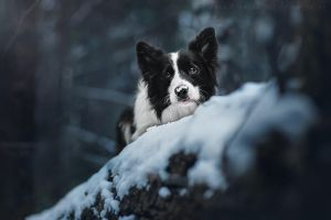 Border Collie Joker. Sarov, Russia. by AnnaTyurina