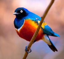 Superb Starling lll by deseonocturno