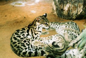 Clouded Leopards by Snotted