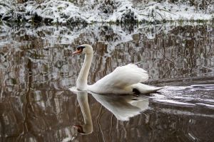 Swan In a Snowy Wonderland by SonjaStarke