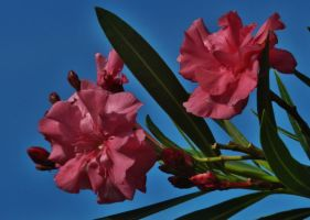 Pink Oleander Branch With Blue Sky by Matthew-Beziat