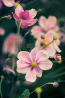 Pink-flower-0085-res2 by nmacheda