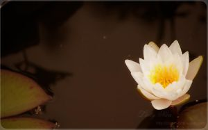 Water Lily I by dark-cheshire