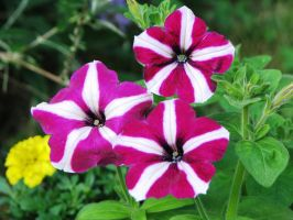 Striped Pink and White Petunias by Autumn-Gracy