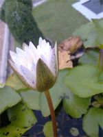 White Lotus. by littleemmy