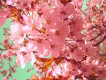 Cherryblossom by Impossiblee