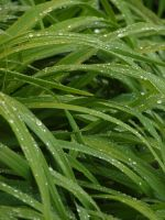 Wet Lily Leaves 03 by botanystock