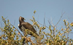 Martial Eagle by NagWolf