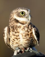 Burrowing Owl by lost-nomad07