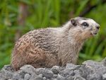 Marmot by Occamsrasr