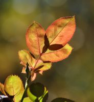 Some Fall Rose Leaves by Tailgun2009