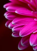 Pink... simply... by AgataSwat