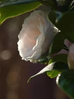 Ice Pink Camellia Stock 03 by botanystock
