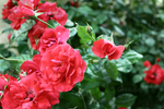 Flowers: Rose 11 by Abletodoall