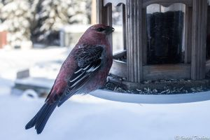 Pine Grosbeak by JosephTimbury