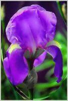 Watercolor Iris by Tailgun2009