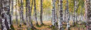 Birchtrees a beautiful misty forest capture by StefanPrech