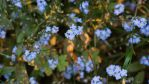 Forget Me Not's 1 by MariaSemelevich