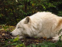 Arctic Wolf 5 by xCrystals